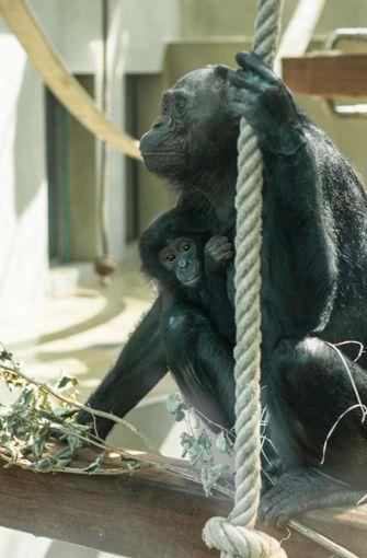 Mit ihren 50 Jahren ist die Bonobo-Dame eigentlich schon aus dem Alter raus, Kinder zu erziehen. Foto: Wilhelma Stuttgart