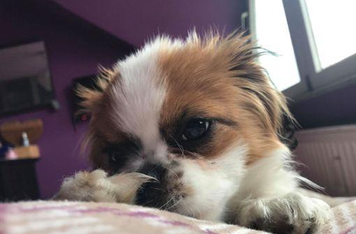 """Der Chihuahua-Pekinese Mischling """"Luckas"""" ist am Mittwochnachmittag in Fellbach überfahren worden. Nun suchen die Polizei und seine Besitzerin nach dem Autofahrer. (Archivfoto) Foto: privat"""