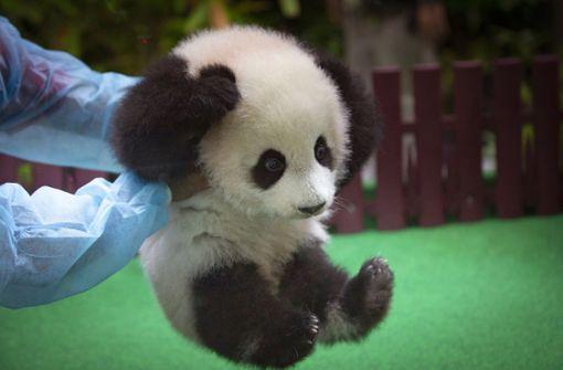 Panda-Baby zeigt sich zum ersten Mal der Öffentlichkeit