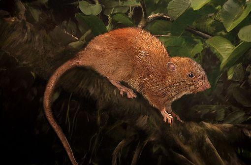 Forscher entdecken riesige neue Rattenart