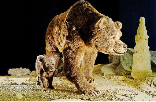 Der gefährliche Winterschlaf des Höhlenbären