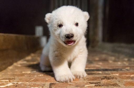 Das Eisbärenbaby lässt es sich schmecken