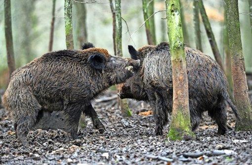 wildtiere in der stadt forstamt bl st zur jagd auf wildschweine stuttgart stuttgarter. Black Bedroom Furniture Sets. Home Design Ideas