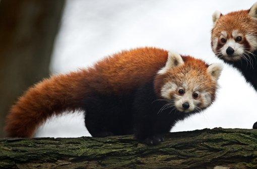 In unserer Bildergalerie zeigen wir Ihnen, welche Tiere außer dem Panda vom Aussterben bedroht sind. Klicken Sie sich durch. Foto: dpa-Zentralbild