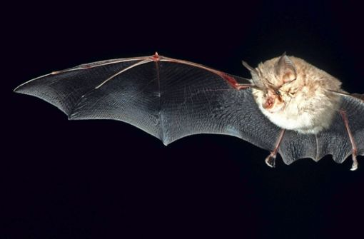 Fledermäuse sind Jäger der Nacht. Dank ihrer Echoortung finden sie sich in der Dunkelheit zurecht und schnappen sich Insekten als Beute. Foto: dpa