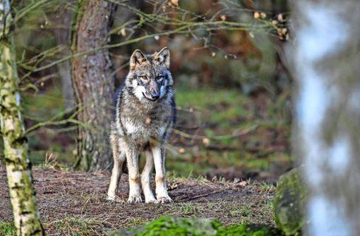 Spürhunde durchforsten Gebiet nach Wolfspuren