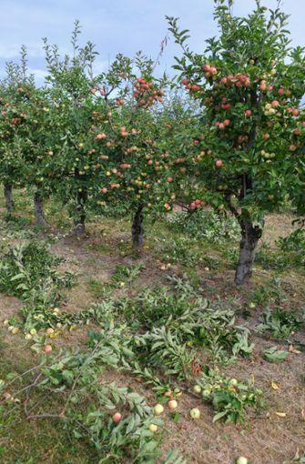 Brandenburg, Hohenwalde: Abgeschnittene Äste von Äpfelbäumen der Sorte Gala Royal liegen zwischen den Reihen einer Plantage des Obsthofes Wilms in Hohenwalde nahe Frankfurt (Oder).  Foto: dpa