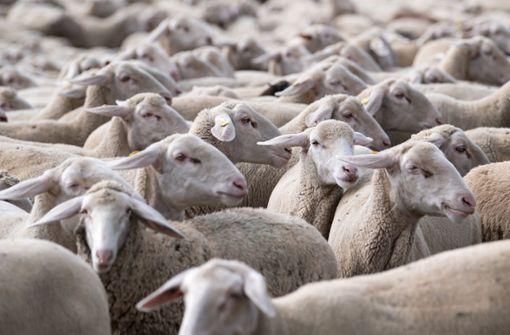 200 Schafe verstopfen Autobahn