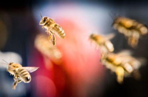Wissenswertes zur Honigbiene