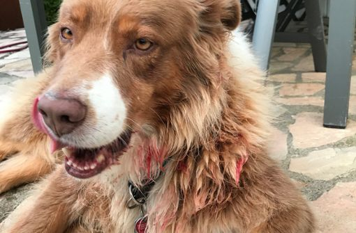 Kangal beißt Familienhund blutig