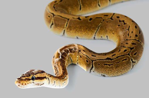 Schlangen in Toiletten verbreiten Angst und Schrecken