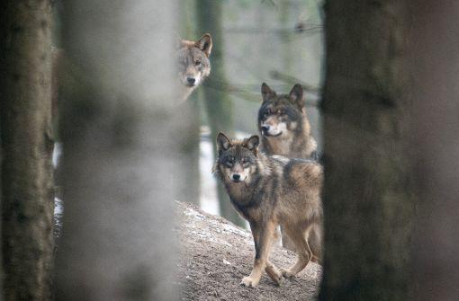 Angst vor Rudelbildung von Wölfen
