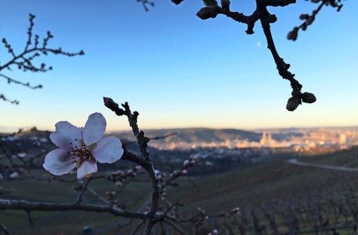 Winter ade: Auf dem Kappelberg standen bereits Ende Januar die Mandelbäume in Blüte. Foto: Aldinger