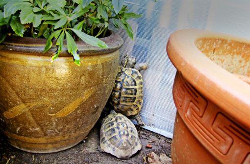 Bei diesen Schildkröten spielen die Hormone verrückt