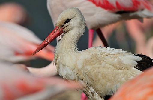 Ein Storch und hundert Flamingos