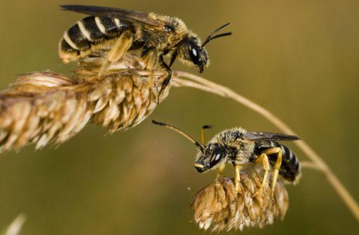 Nach Angaben der Deutschen Wildtier Stiftung sind 300 der 585 Wildbienenarten in Deutschland gefährdet oder vom Aussterben bedroht. Foto: Deutsche Wildtier Stiftung/Pressebilder