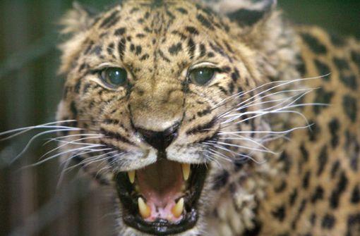 Leopard tötet Kleinkind in Nationalpark