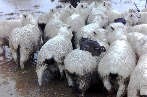 Wildhasen retten sich auf Schaf-Rücken vor Überflutung