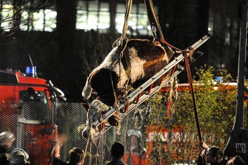 bPlatz 15: Wilder Stier legt Bahnverkehr lahm/bbr Sindelfingen: Ein entlaufener Stier hat am Abend des 20. April in Sindelfingen im Kreis Böblingen für Aufregung gesorgt – und fast drei Stunden lang den Schienenverkehr zwischen Sindelfingen und Böblingen lahmgelegt. Das aggressive Rindvieh hatte zunächst die Stadt unsicher gemacht, dann lief es auf die Gleise. Dort konnte es der Besitzer an einen Strommasten binden, ein Tierarzt betäubte den Stier. Anschließend  hievte die Daimler-Werksfeuerwehr den Ausreißer mit einem Kran von der Strecke. Per Lastwagen ging es für das Rindvieh zurück in den heimischen Stall. Foto: www.7aktuell.de | Ingo Reimer
