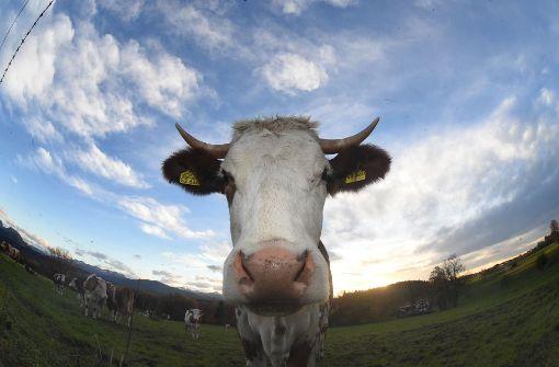 Ausgebüxte Kuh hält Polizei in Atem