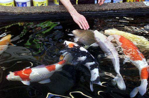 Diebe stehlen wertvolle Koi-Karpfen und großen Goldfisch