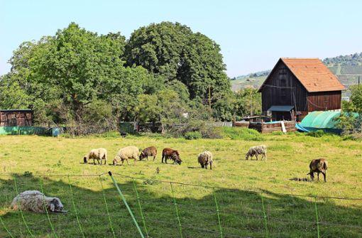 Die Schäferin hat seit Jahren ein Anwesen in Pliensauvorstadt gepachtet, dorthin wurden die Stuttgarter Schafe gebracht. Die meisten sind schon wieder anderswo. Foto: Caroline Holowiecki