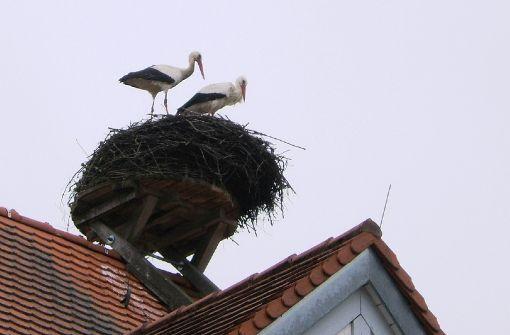 Der Storch Ingo hat seine erste Partnerin sitzengelassen - und alle drei Kinder, die er mit der neuen gezeugt hat, verloren. Ist Gift die Ursache? Foto: Ute Reinhard
