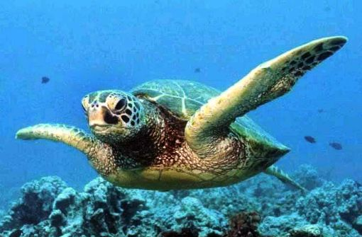 Hunderte toter Schildkröten im Pazifik