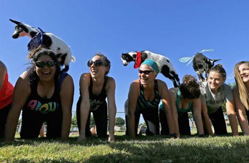 Behörde verhindert Yoga-Kurse mit Ziegen
