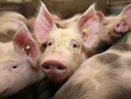 Gequälte Schweine für billige Schnitzel