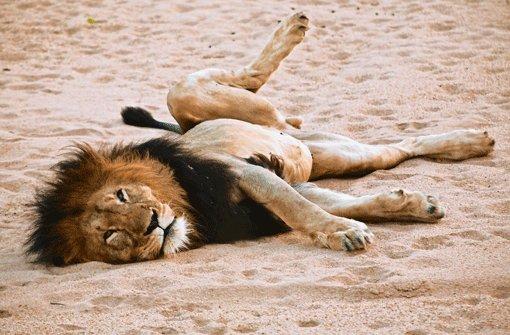 Im Land der müden Löwen