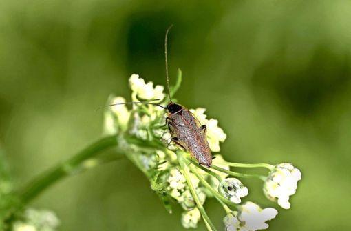 Ungebetene Insekten Im Haus Bernsteinschaben Beunruhigen Die