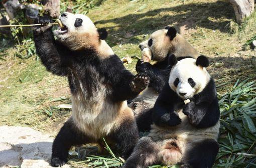 China richtet riesiges Naturschutzgebiet für Pandas ein