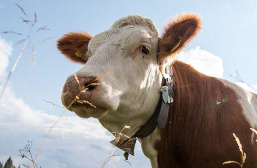 Kuh soll verladen werden und haut ab
