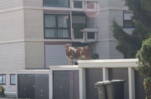 Das Tier war am Dienstagvormittag gemeinsam mit ihrem Kälbchen ausgebrochen und auf das Garagendach geklettert.  Foto: SDMG