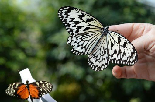 Im Briefumschlag, aber nicht per Post: Eine Tierpflegerin der Wilhema läßt die frisch eingetroffenen Schmetterlinge im Schmetterlingshaus der Wilhelma frei. Foto: dpa