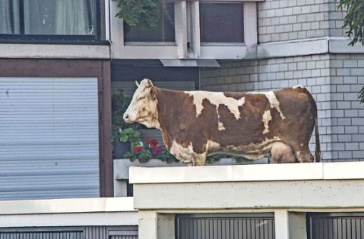 Die Kuh ist  in Panik auf das Dach einer Maichinger Garage geflüchtet. Foto: SDMG