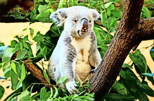 Ab 2020 sollen auch Koala-Bären in der Wilhelma zu sehen sein.Auch die Orang-Utans haben mittlerweile das alte Menschenaffenhaus verlassen. Die Wilhelma will das Gebäude für Australiens Tierwelt sanieren lassen. Ab 2020 sollen auch Koala-Bären in der Wilhelma zu sehen sein.Auch die Orang-Utans haben mittlerweile das alte Menschenaffenhaus verlassen. Die Wilhelma will das Gebäude für Australiens Tierwelt sanieren lassen.Auch die Orang-Utans haben mittlerweile das alte Menschenaffenhaus verlassen. Die Wilhelma will das Gebäude für Australiens Tierwelt sanieren lassen. Foto: dpa