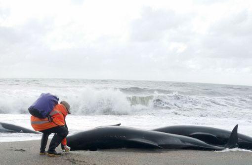 Dutzende Wale stranden und sterben