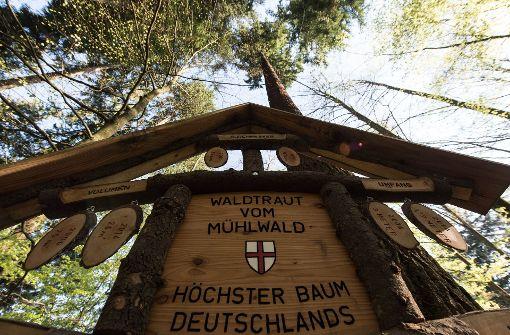 Deutschlands höchster Baum heißt Waldtraud