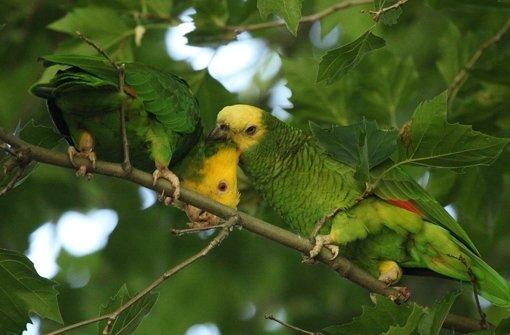 Nur der namensgebende gelbe Kopf hebt sich vom grünen Laub ab.  Foto: Tomoko Arai