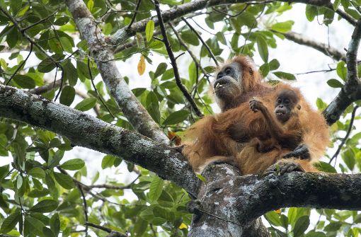 Neue Menschenaffen-Art entdeckt: 800 Orang Utans stehen Festland-Vorfahren am nächsten