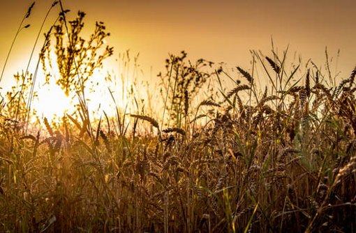 Spätsommer  Spätsommer in Stuttgart: Getreide und Sonnenblumen in voller ...