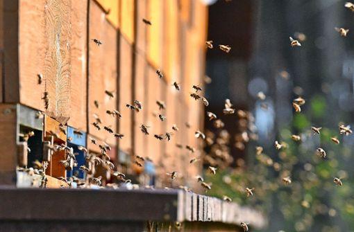 Um Nektar für ein Kilogramm Honig zu sammeln, muss eine Biene eine Strecke fliegen, die dem Sechsfachen des Erdumfanges entspricht. Foto: dpa