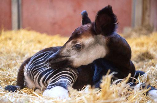 Wilhelma Stuttgarts Jüngstes Okapi Braucht Menschliche Hilfe