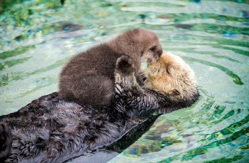 Baby-Otter entspannt sich auf Mamas Bauch