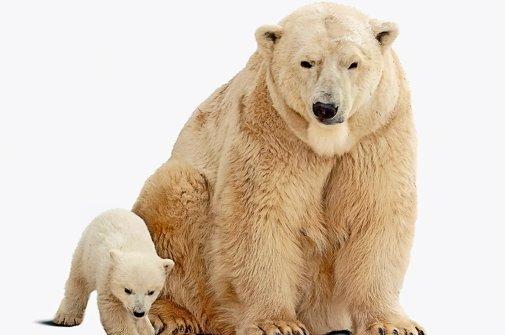 bEisbär/bbrUnterarten: Keine.brLebensraum: Eisbären leben in der Arktis meist auf der küstennahen Packeisschicht, die das Nordpolarmeer rund um den Nordpol bedeckt.brHeimat: Teile von Kanada, Grönland, Spitzbergen in Norwegen, diverse russische Regionen und Alaska.brBestand: Zwischen 20000 und 25000 Tiere. Aufgrund des zunehmenden Klimawandels zeigt der Trend nach unten.brStatus: Gefährdet. Foto: Fotolia