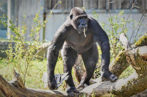 Junger Gorilla muss Wilhelma verlassen