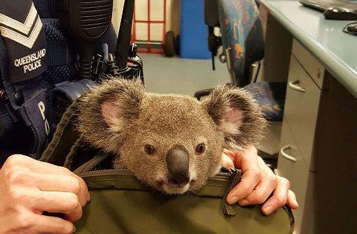 Baby-Koala in Rucksack gefunden
