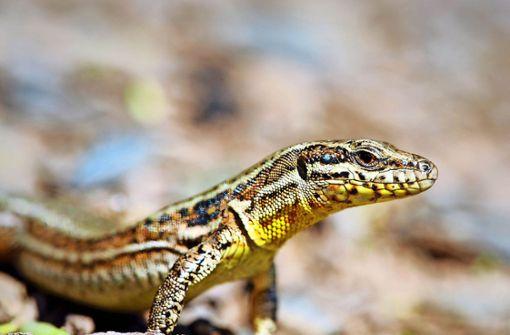 Die Mauereidechse ist ein gar stolzes Tier, das vor allem  keine Zauneidechsen neben sich duldet. Foto: SanGero/AdobeStock
